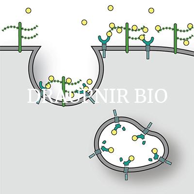 Draupnir biotech glycans